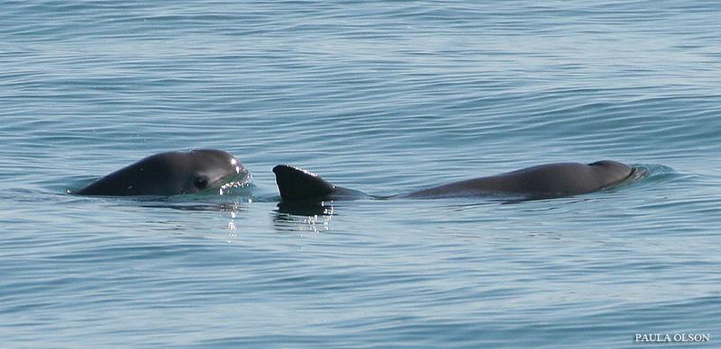 """Messico, la """"cocaina del mare"""" minaccia una specie protetta"""