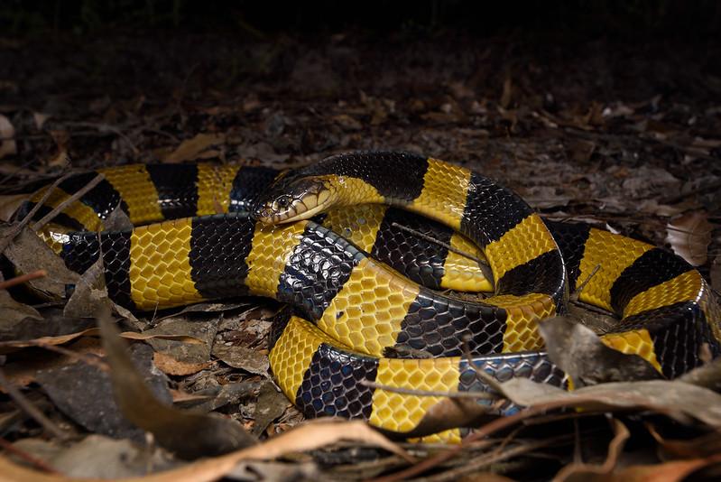Con il Coronavirus più cure anche per i morsi dei serpenti in Orissa