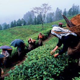 Crocevia Bengala: c'è vita oltre il tè