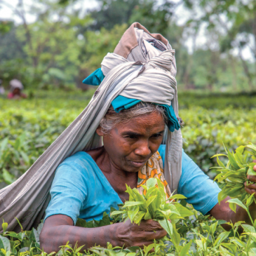 Tè amaro: il Pime nel Bengala